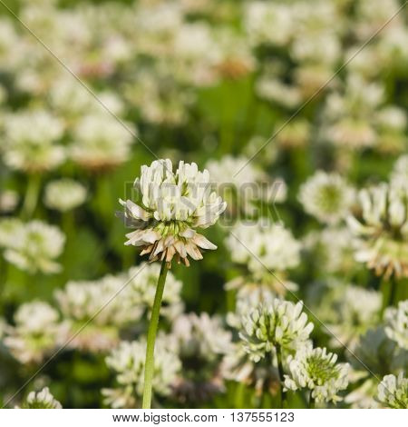 White Clover Trifolium repens flower in field macro with bokeh background selective focus shallow DOF