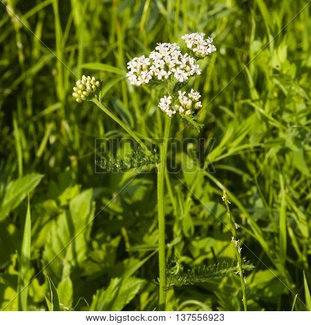 Blooming Common Yarrow Achillea millefolium flower cluster and leaves on stem with bokeh background macro selective focus shallow DOF