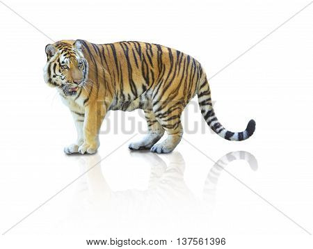 Tiger isolated with reflect on white background