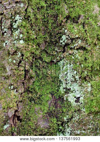 close-up of overgrown bark. Moss growing on an oak tree.
