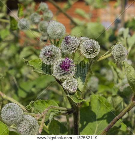 Buds on woolly burdock arctium tomentosum macro selective focus shallow DOF