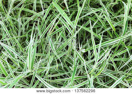 Green Blades Of Decorative Carex Grass