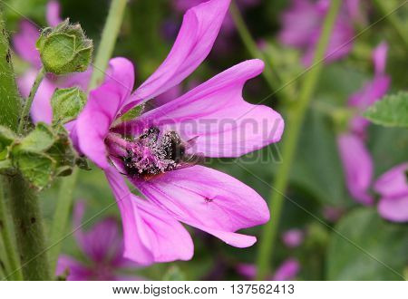A Honey Bee clinging to the stamen of a common mallow flower