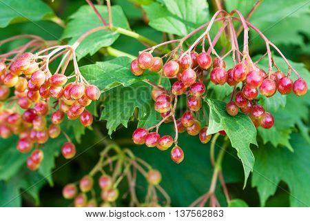 Fruits Of Viburnum On Green Shrub In Summer