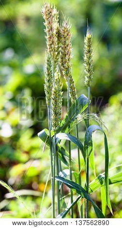 Few Ears Of Green Wheat At Field