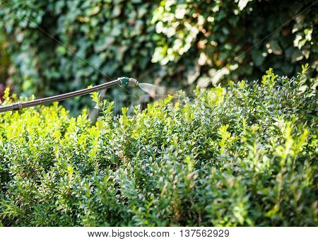 Treatment Of Boxtree Bushes By Pesticide