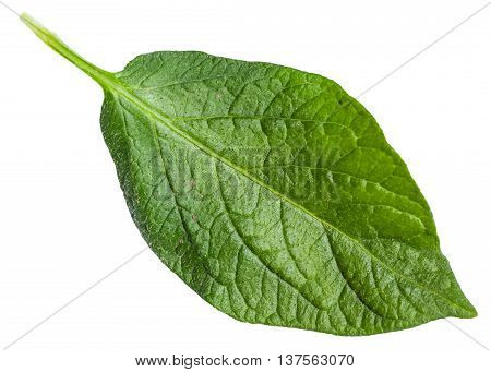 Fresh Green Leaf Of Potato Plant Isolated