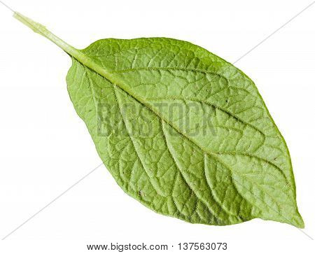 Back Side Of Green Leaf Of Potato Plant Isolated