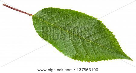 Green Leaf Of Cherry Tree Isolated