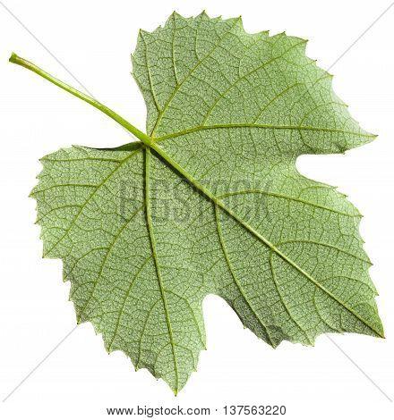 Back Side Of Green Leaf Of Grape Vine Plant