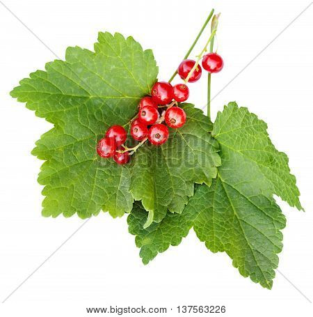 Berries And Green Leaves Of Red Currant Plant
