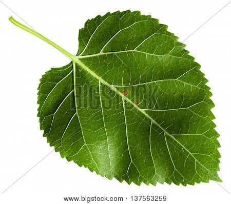 Back Side Of Green Leaf Of Morus Tree Isolated