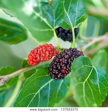 Ripe Black And Red Berries On Blackberry Tree
