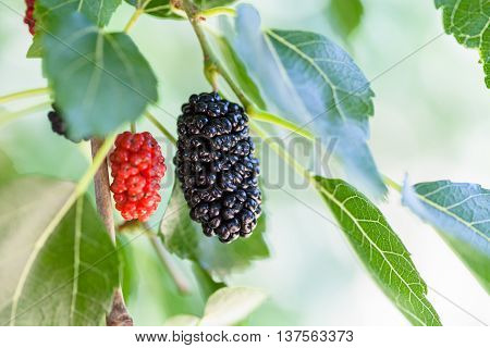 Black And Red Berries On Blackberry Tree