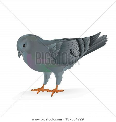Breeding bird Carrier pigeon domestic sports bird vector illustration