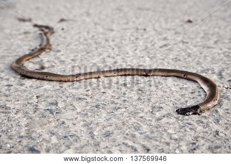 Car crushed snake died on the road