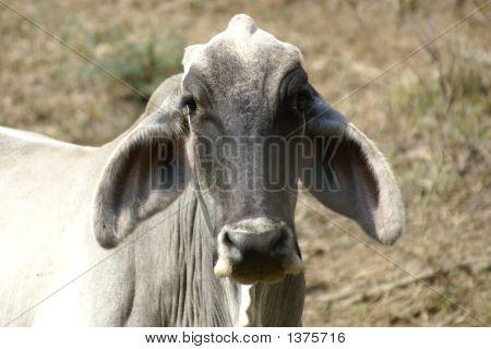 Focused Cow; Big Eared