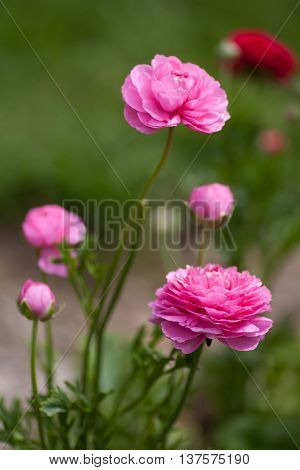 Hot pink Ranunculus flower blossoms growing in the garden