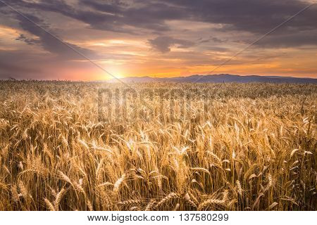 Beautiful orange sunset over a wheat field