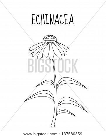 Echinacea flower sketch hand drawing. Medicinal plant Echinacea. Vector illustration