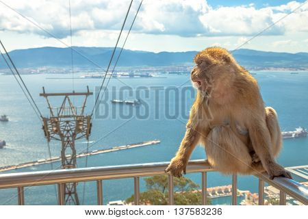 A famous wild macaque in Upper Rock Natural Reserve. On background the cable car that leads to Gibraltar Rock. Gibraltar is a British colony that is located at southern end of Iberian Peninsula.