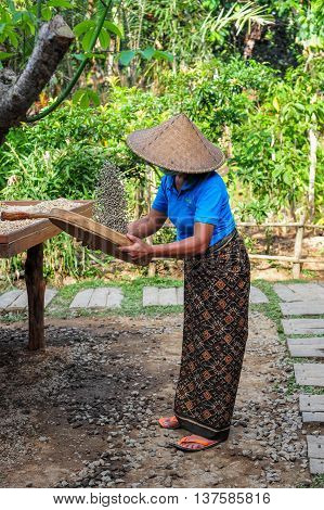 BALI, INDONESIA, 26 MAY, 2015: A woman is a coffee baker in Bali working with unprocessed luwak coffee beans