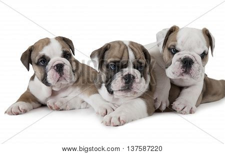 Portrait of three English Bulldog puppies (six weeks old) isolated on white background