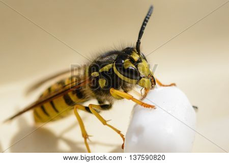 Macro close up from a wasp with feed