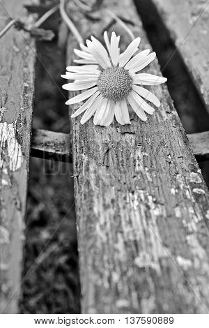 Detail of daisy on a background of old wooden park bench in black and white