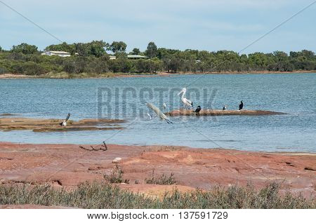 Pelican, cormorants, pacific reef herons, pacific gull and a white heron in flight over the red sandstone formations along the banks of the Murchison River in Kalbarri, Western Australia.
