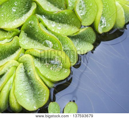 Fresh closeup duckweed after rain with water drops