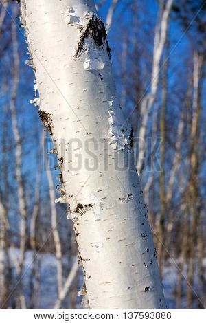 birch tree trunk in spring forest
