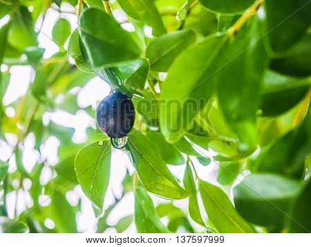Black fruit with dew drop under a shade of green