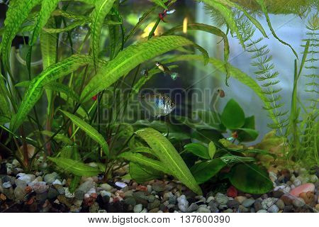 Hobby aquarium with water plants and fish.