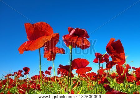 Beautiful red poppies gowing on field in summer.