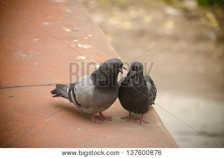 pigeon looks after a female. . .