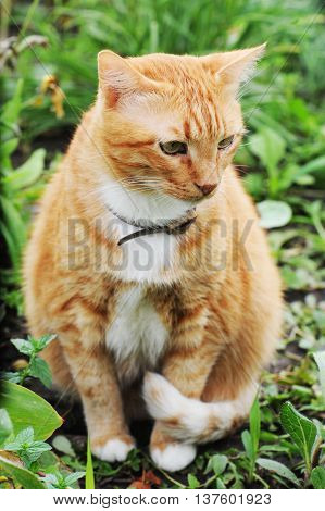 Domestic red cat with a collar on the nature