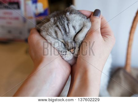 funny gray cat in female hand blurred background.