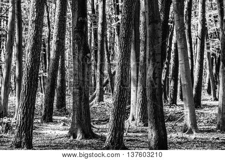 Close up from manyTree trunks in forrest in black and white