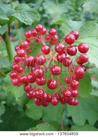 Viburnum opulus shrub, red small fruit .