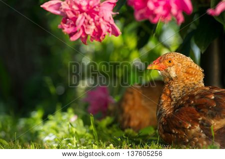 Chickens resting in the shade of a peony bush on a green lawn