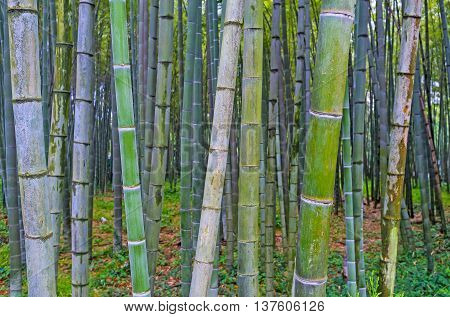 The close up of the bamboo shoots in the grove in Batumi Boulevard Georgia.
