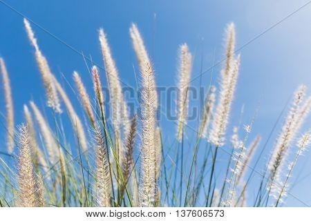 Cogon Grass On Blue Sky Background