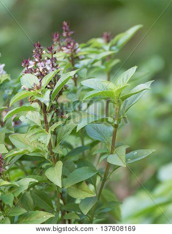 Fresh Green Basil And Flower