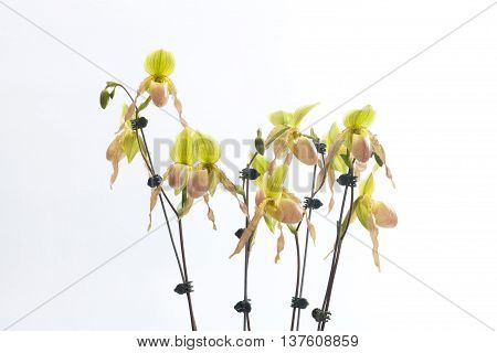 Paph.bellatulum x (Avalon Mist Pinky x Pineapple Thaipapilio) ·