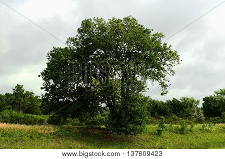 Big green tree and grass on the meadow and gray clouds. Tall oak. Summer forest landscape..