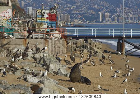 VALPARAISO, CHILE - JULY 5, 2016: South American Sea Lions (Otaria flavescens), pelicans and seagulls  on the beach at the fish market in the UNESCO World Heritage port city of Valparaiso in Chile.