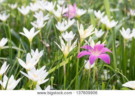 Little Witches Flower In Garden