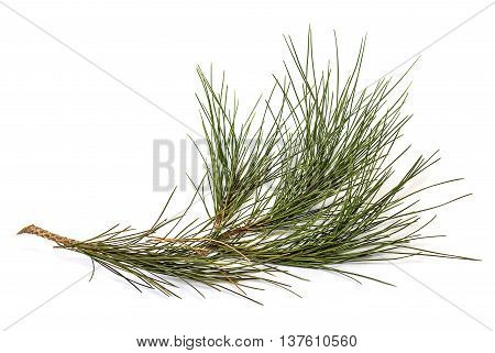 The fir branch isolated on white background