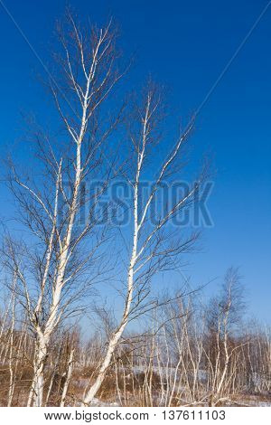 birch trees in spring forest